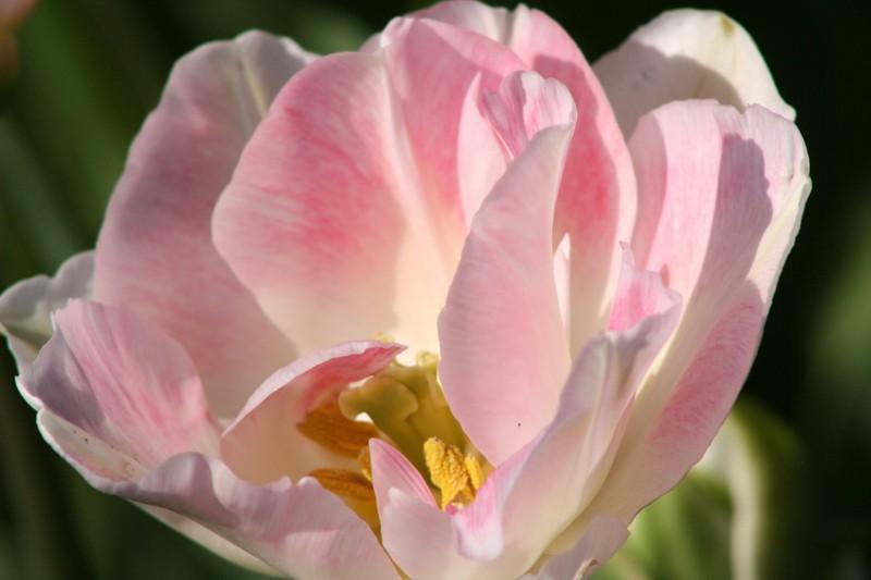 Tulip_festival_083