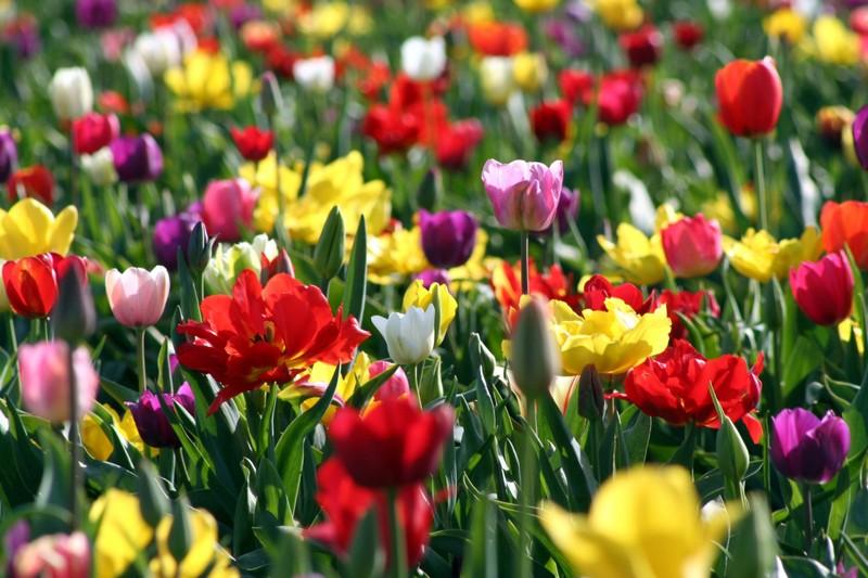 Tulip_festival_114